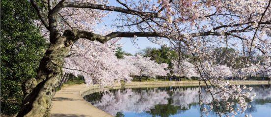 Cherry blossom tree near the Tidal Basin